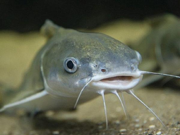 Mơ thấy cá trê đánh đề con gì chắc trúng?
