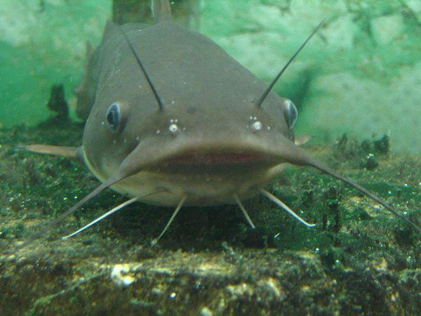 Mơ thấy cá trê là điềm báo lành hay dữ?
