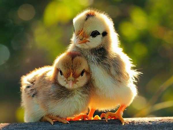 Chiêm bao thấy gà con nên đánh số đề con bao nhiêu?
