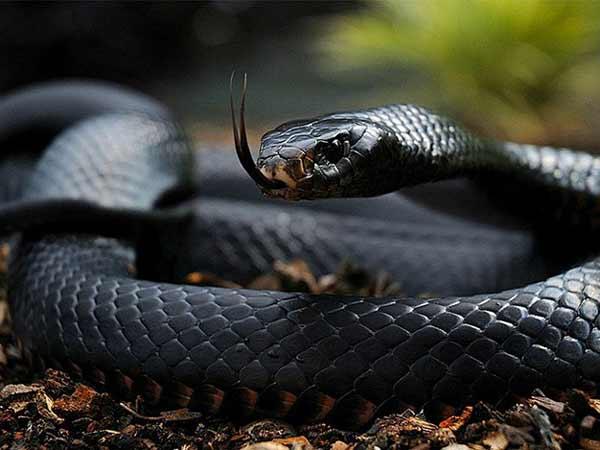 Mơ thấy rắn đen là điềm báo lành hay dữ