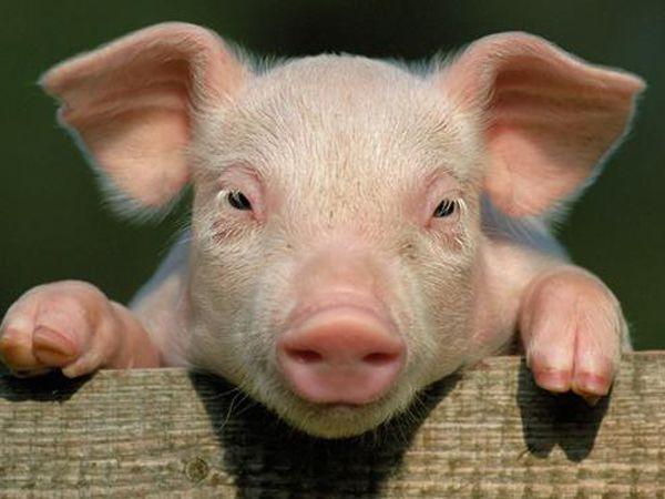 Mơ thấy lợn đánh con gì đổi đời, báo mộng điều gì?
