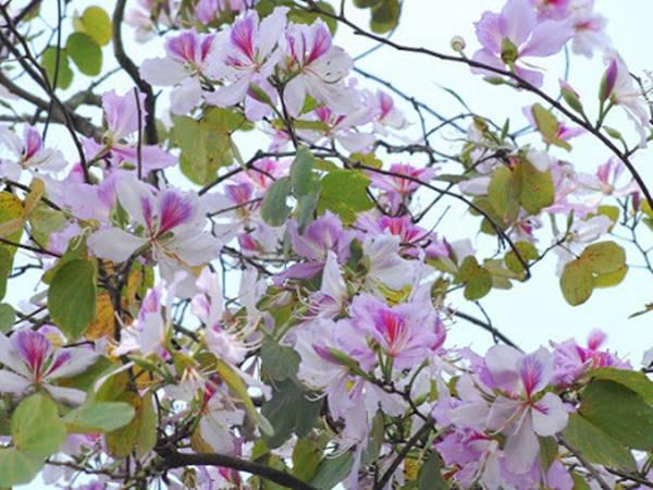 Mơ thấy hoa ban thử vận may với cặp số nào? Là điềm gì?