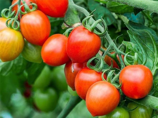 Mơ thấy quả cà chua đánh con gì?