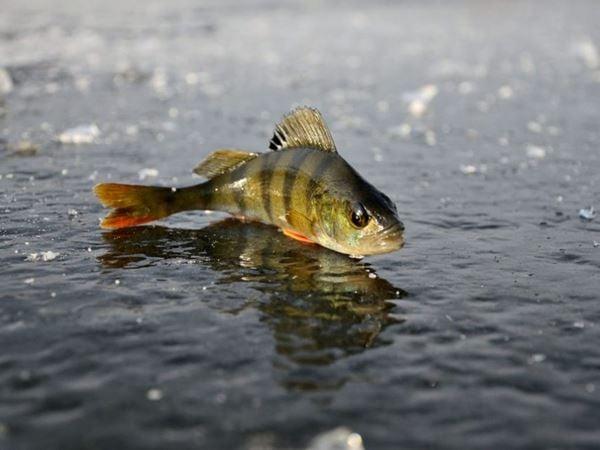 Mơ thấy cá rô điềm báo tốt hay xấu?