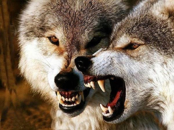 Mơ thấy sói là dự cảm tốt hay xấu? Sói là số mấy?
