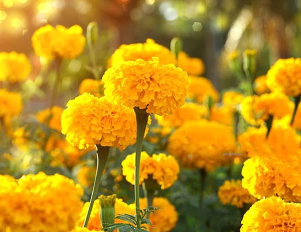 Nằm mơ thấy hoa vạn thọlà điềm báo gì? đánh số mấy