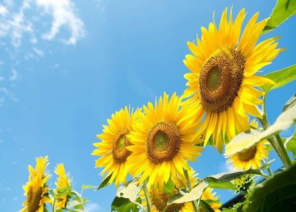 Giải mãbí ẩn giấc mơ thấy hoa hướng dương là điềm báo gì